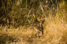 Yellow Throated Francolin