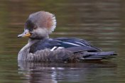 Hooded Merganser Ducks