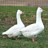 Tufted Roman Geese