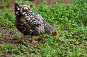 Silver Laced Wyandotte Chickens