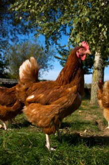 Golden Buff Chickens