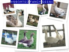 Assorted Fancy Geese