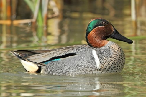 Green Winged Teal Ducks Purely Poultry