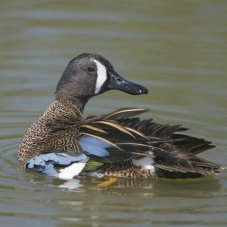 Blue-winged Teal Ducks