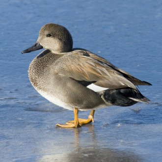 Gadwall Ducks | Purely Poultry