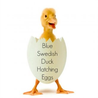 Blue Swedish Duck Eggs