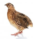 Pharaoh Coturnix Quail Chicks
