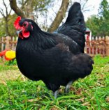 Black Australorp Chickens