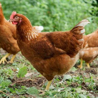 Novogen Brown Chickens