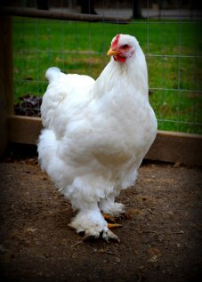 White Cochin Chickens