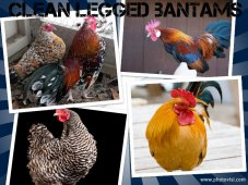 Hatchery Choice Clean Legged Bantams
