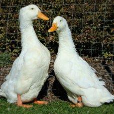 Jumbo Pekin Ducklings