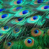 India Blue Peafowl
