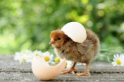 Bantam Hatching Eggs