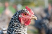 Barred Plymouth Rock Chickens