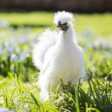 Silkie Bantams