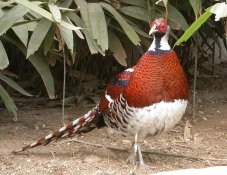Elliots Pheasants