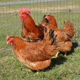 Red Broilers