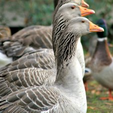 French Toulouse Geese