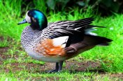 Chiloe Wigeon Ducks