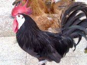 White Face Black Spanish Bantams