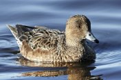 European Wigeon Ducks