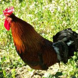 Sicilian Buttercup Bantams