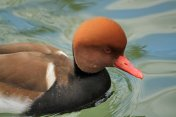 Red Crested Pochard Ducks