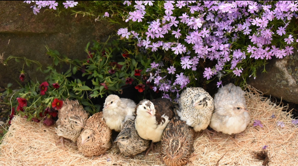 Assorted Coturnix Quail