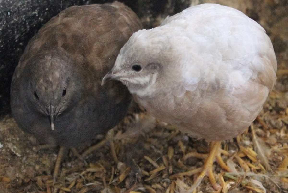 Button Quail Adult Pairs for sale