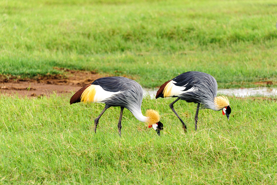 African crowned crane - photo#25