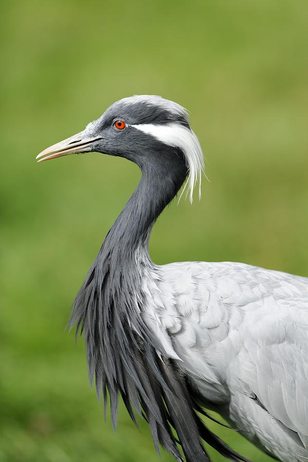 Demoiselle | Demoiselle Cranes Purely Poultry