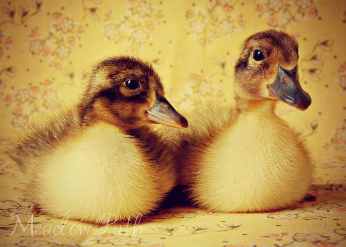 Duckie Duo Fine Art Print