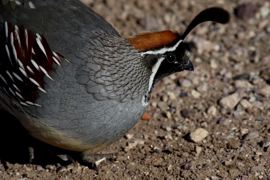 How long for california quail eggs to hatch