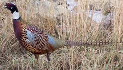 Manchurian Cross Ringneck Pheasants