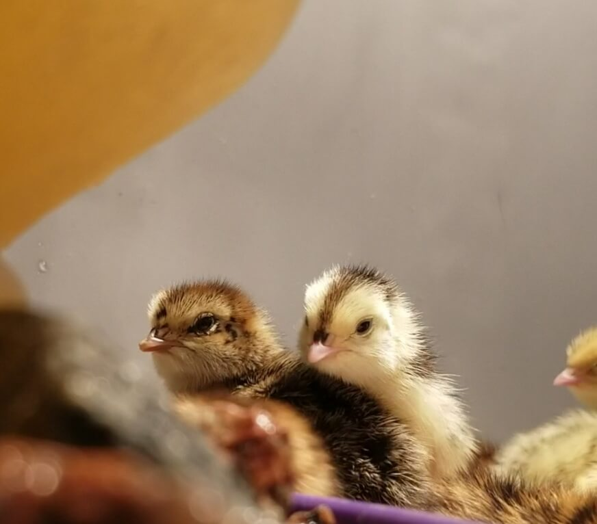 Assorted Coturnix Quail Chicks