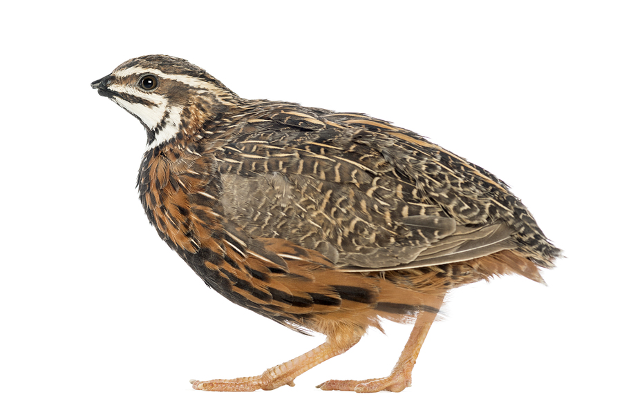 African Harlequin Quail Eggs Purely Poultry