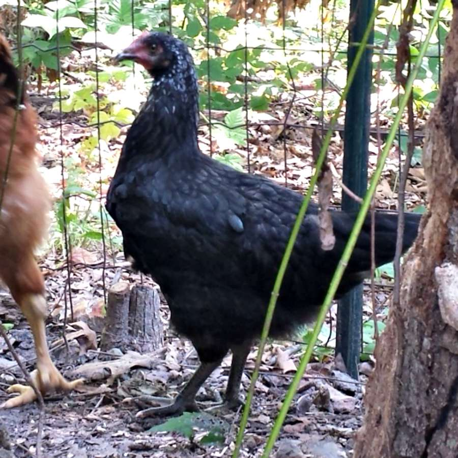 Asian Black Chickens