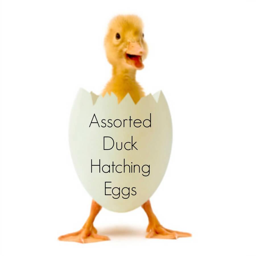 Mallard Duck Hatching Eggs for sale.