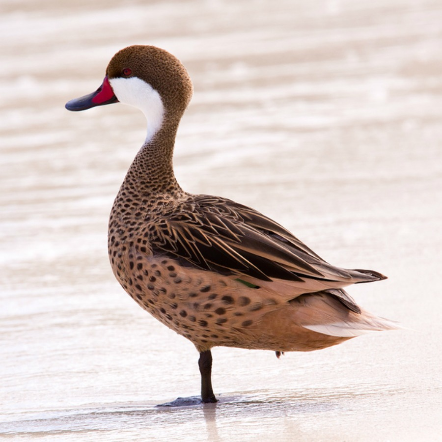 Bahama Pintail Ducks