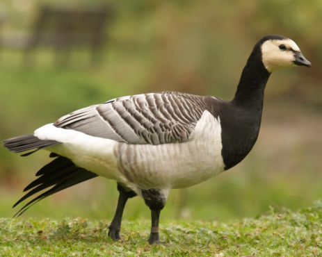 barnacle goose or canada goose