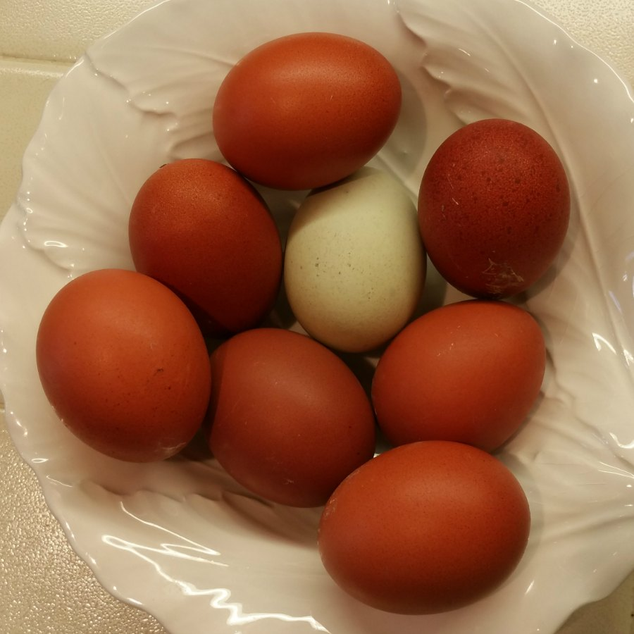 Black Copper Marans Chicken Eggs