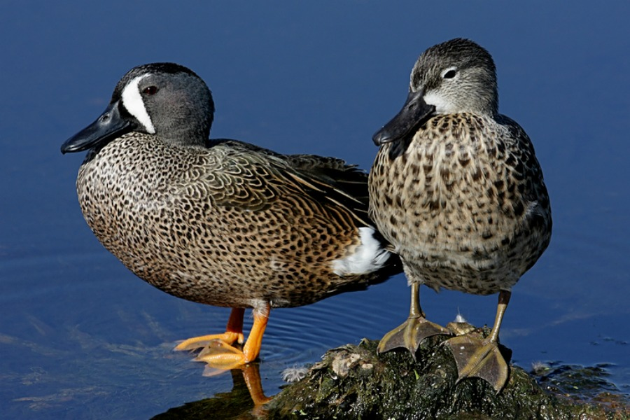 Blue-winged Teal Ducks | Purely Poultry - photo#17