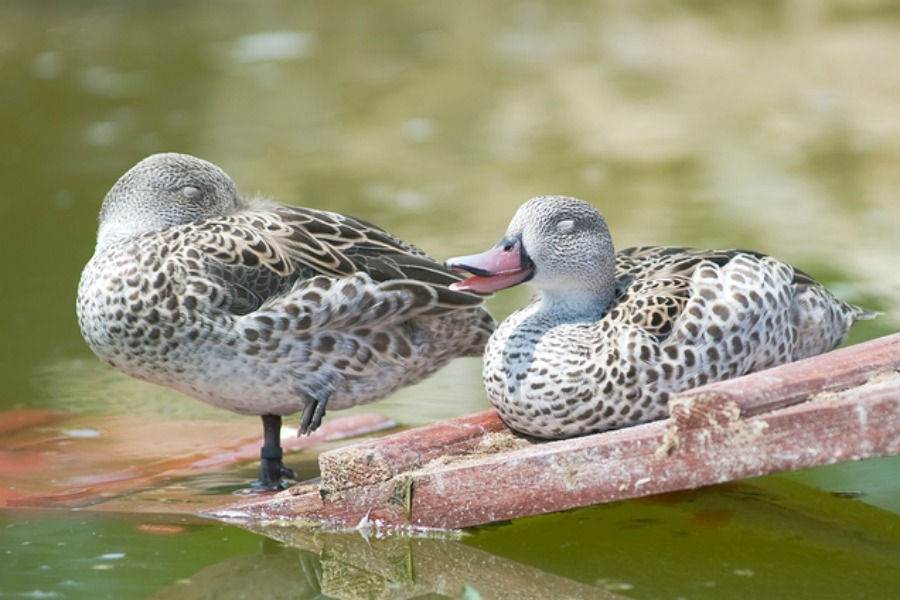 Cape Teal Ducks