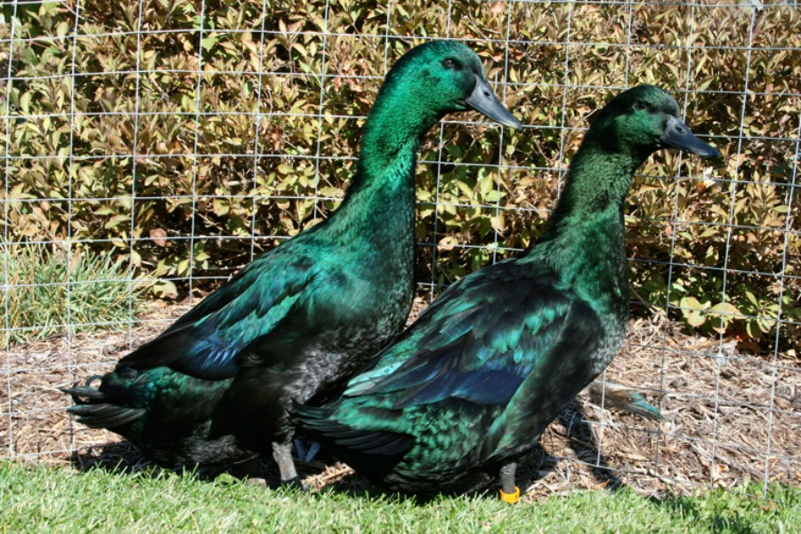 Cayuga ducks