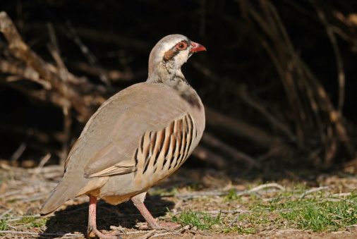 Flight Ready Chukar Partridge