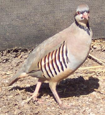 Partridge | Partridges