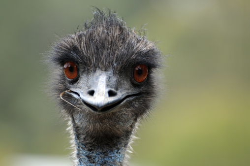 emu purely poultry