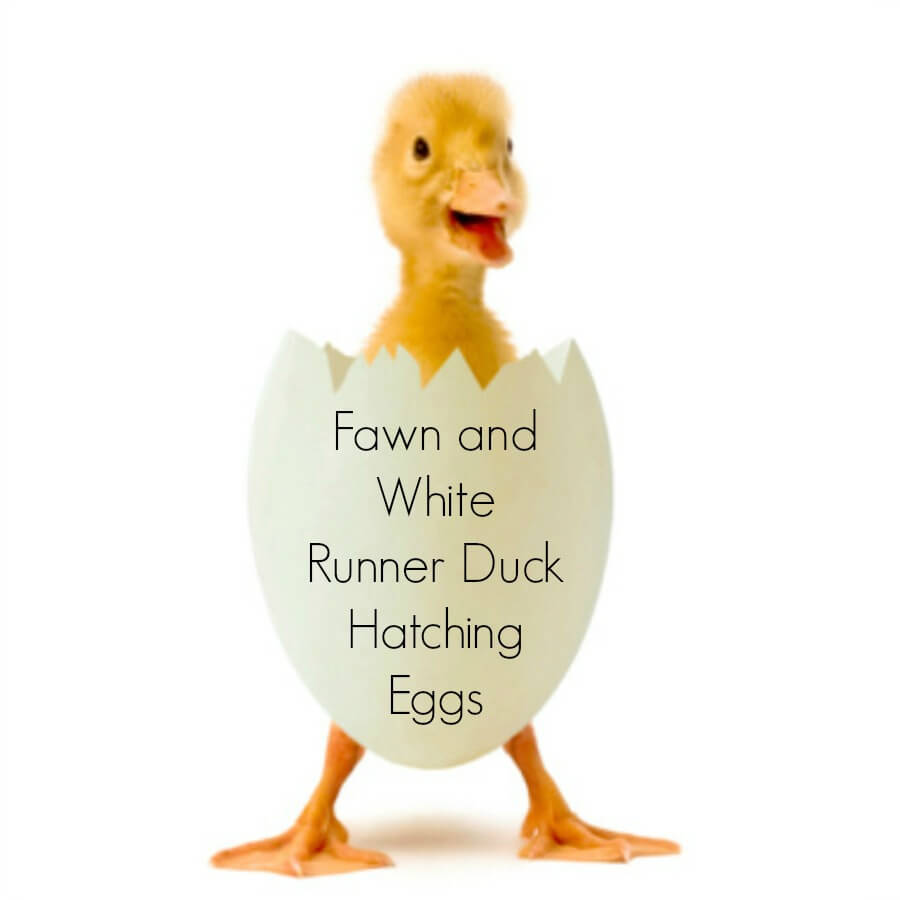 Fawn and White Runner Duck Eggs