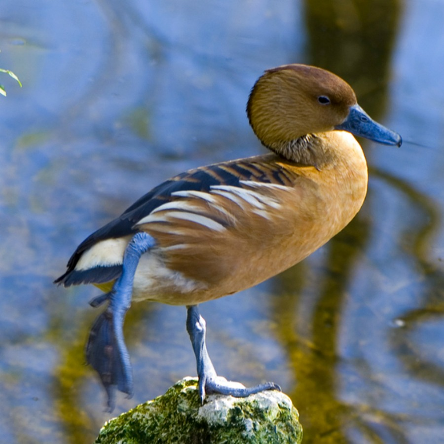 vi tal vitamin and electrolyte supplement fulvous whistling ducks - Pictures Of Ducks